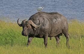 Year 2 – Rhinos and Buffalos